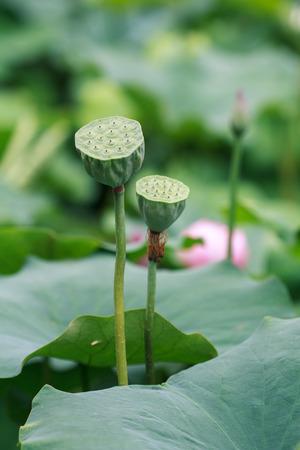 seedpod: lotus seedpod