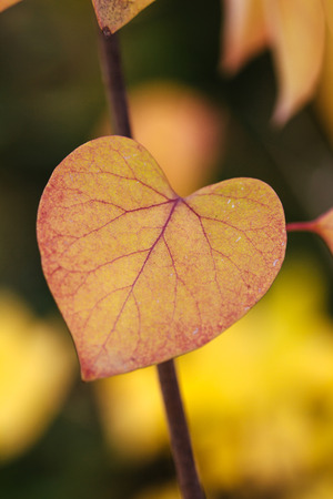leaf shape: Heart shaped leaves in the autumn