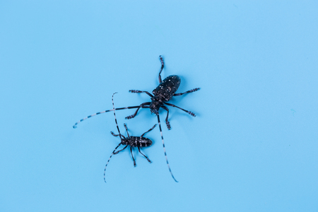 escarabajo: escarabajo de cuernos largos Foto de archivo
