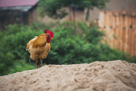areas: chicken in Chinese rural areas of China Stock Photo