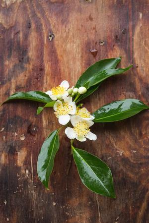 cinnamomum: Cinnamomum camphora flower in summer
