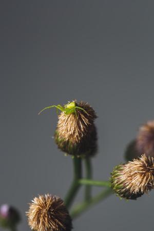 arthropod: Green spider