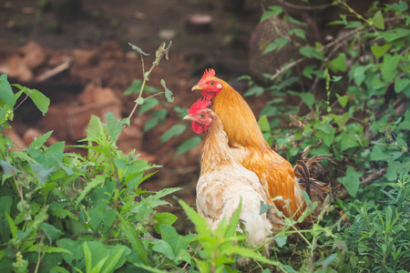 rural areas: chicken in Chinese rural areas of China Stock Photo