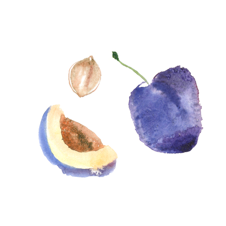 Watercolor plum illustration with ripened fruits. Watercolor isolated plum art with white background high resolution. Banco de Imagens