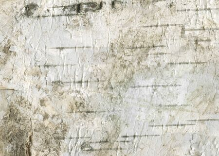 Natural wood texture background with raw birch textures for forestry and wooden wallpaper. White birch-tree bark for rough wooden wall. Organic materials for print design and rustic web banner. Stock Photo