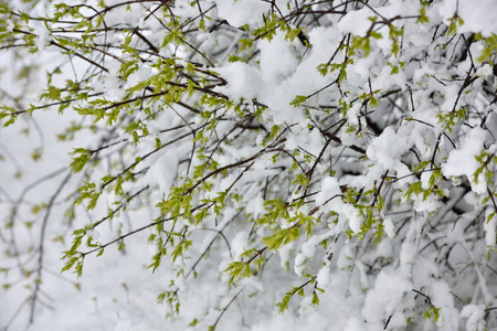 Beautiful branch with leaves under the snow in April