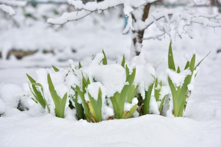Fresh flower in a garden under snow in April