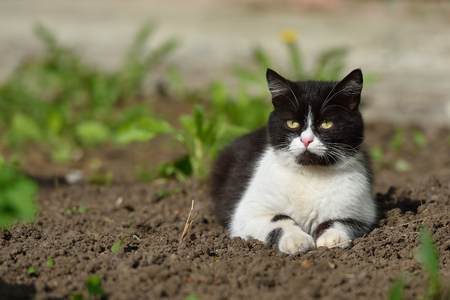 A beautiful black and white cat walks and plays on the territory of the house