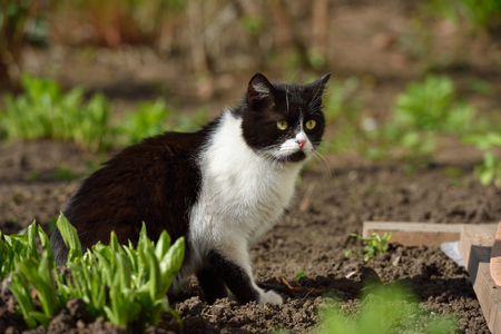 background: A beautiful black and white cat walks and plays on the territory of the house