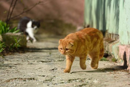 A beautiful ginger cat walks and plays on the territory of the house