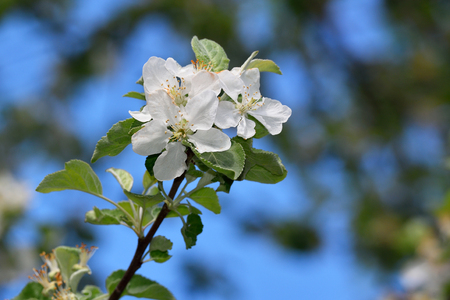 crab apple tree: Flowering apple trees in the spring in the home garden