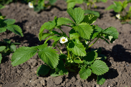 Flowering of strawberries in a home garden, close-up. Stock Photo