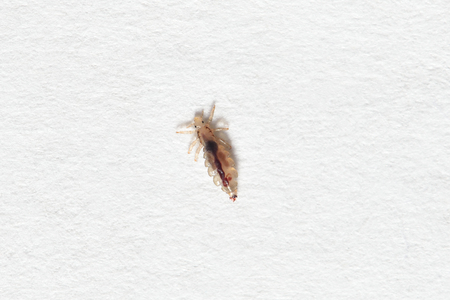 lice: Insect lice on a white paper background.