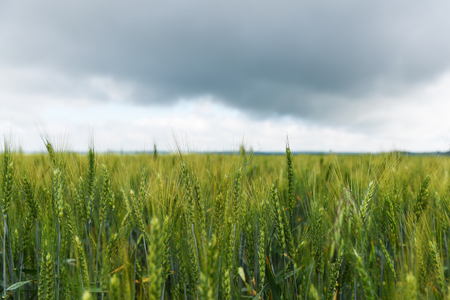 Bright wheat field against the sky with rain clouds.