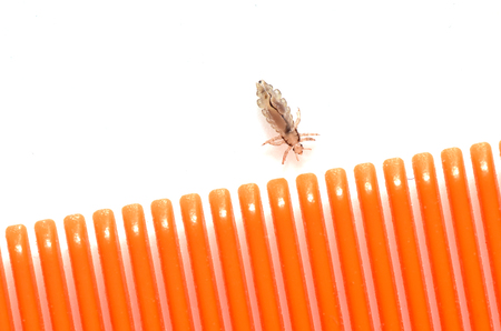 A louse on a white background next to a hairbrush for combing insects from the hair.
