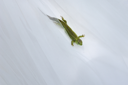 Lizard against a white fabric in which a new tail grows.