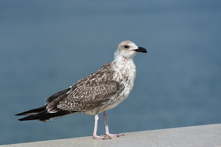 Thin and possibly sickly seagull of motley colors, stands on the level surface of the stone parapet.