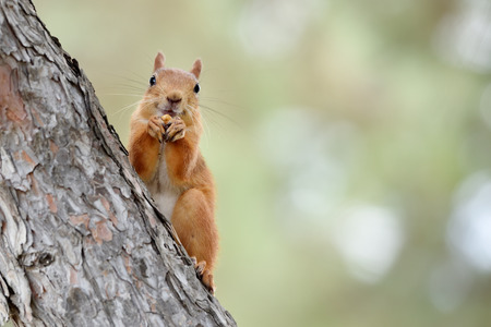 A very cute redhead squirrel sits on a tree. Red-haired squirrel beautiful, close-up on pine.