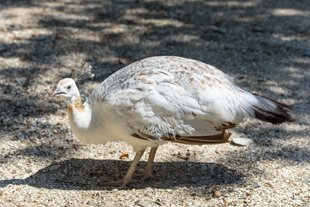 A white peafowl walks the ground in the zoo. White peafowl next to the trough. Stock Photo