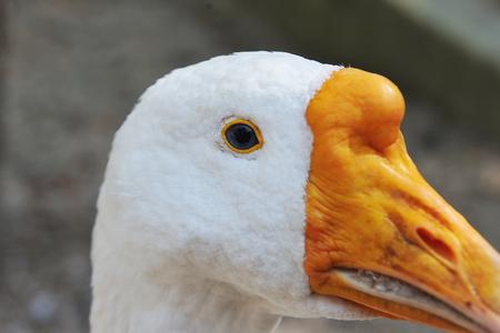 White goose close-up. Eye of a goose close up.