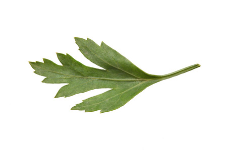 Bright and fresh green leaf of parsley on a white background. Close-up.