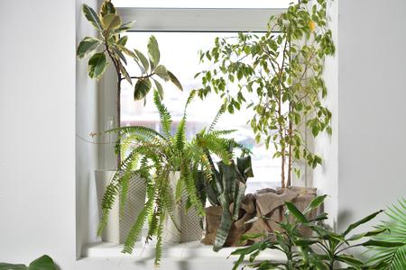 Large indoor plants stand on the window, fern, ficus, Aechmea Stock Photo