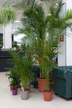 Big palm tree grows in a brown pot indoors