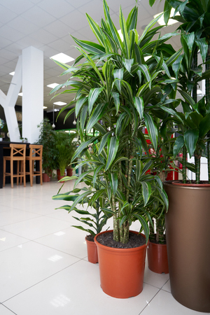 Home plant Pandanus in a brown pot stands on the tile floor in the room.