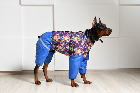 Beautiful young Doberman in warm clothes for walking in the cold season, stands on the laminate floor against the white textured wall, side view, profile.