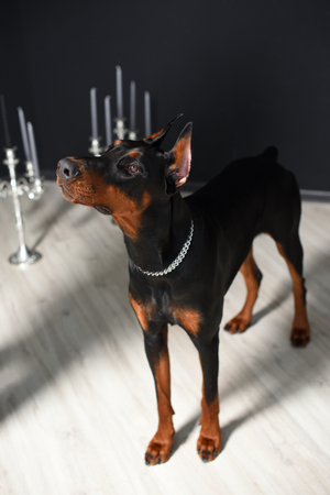 Beautiful Doberman stands and looks up against a black wall and candlesticks