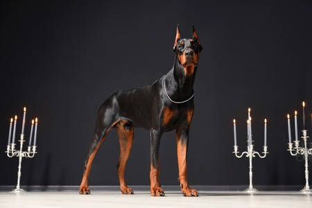 A beautiful young Doberman stands against a black wall and candlesticks with burning candles. Reklamní fotografie