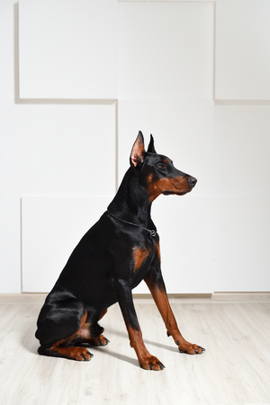 A beautiful young Doberman dog sits on a laminate floor against a white textured wall