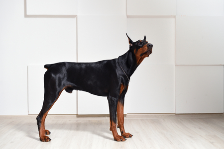 A beautiful young Doberman stands on a laminate floor against a white textured wall, side view