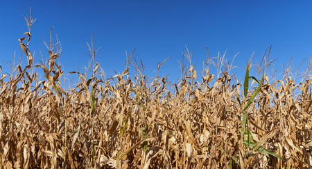 Dry field of ripe corn against a bright blue sky. Dried and unripe field of corn Stock Photo