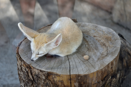 A beautiful and cute fox fenech, small and with big ears