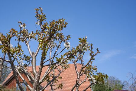 Cherry tree with cut branches, young leaves and flowers against the blue sky and the roof of the house