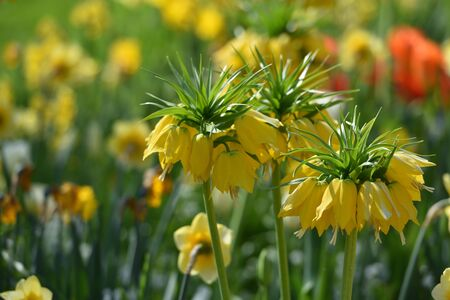 Beautiful plant fritillaria, yellow in the background of the garden, in spring