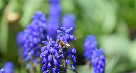 A close-up bee eats nectar on the blue muscari flowers, macro