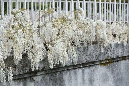 White wisteria grows along a bridge in a park in a European garden