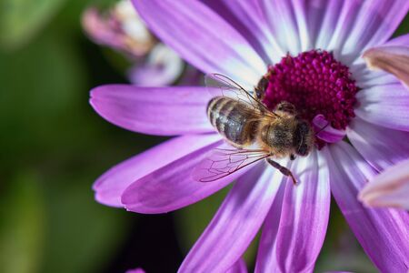 A close-up bee eats nectar on the violet Osteospermum flowers