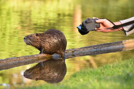 Beautiful wet nutria poses without fear and is photographed on a camera. Hand of a man with a camera photographs an animal nutria Foto de archivo