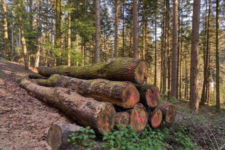 Sawn coniferous trees in the European forest. Large logs of sawn coniferous trees