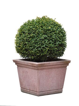 A Taxus coniferous bush in a rounded ball shape, in a square stone pot on an isolated white background