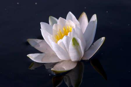white lily: white lily Foto de archivo