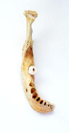 mandible: Human Mandible With Tooth Stock Photo