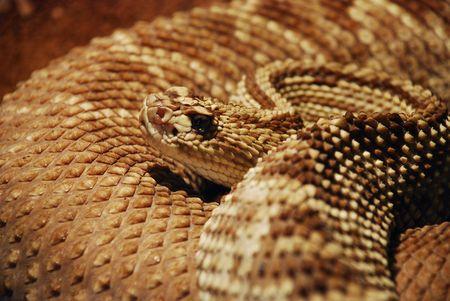 snake portrait (rattlesnake) photo
