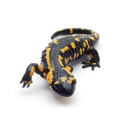 jaszczurka: Salamandra Zdjęcie Seryjne