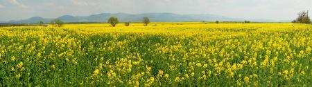 canola field panorama Stock Photo - 9459410