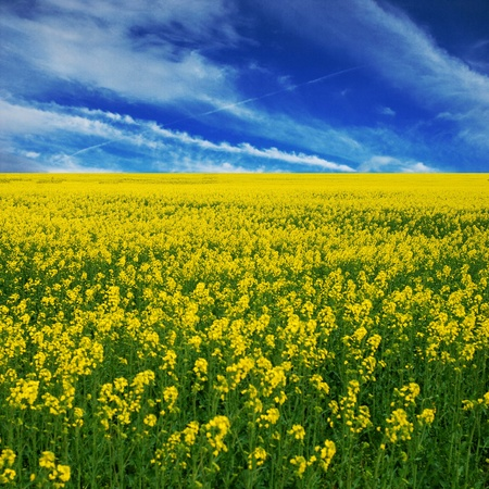 canola field photo