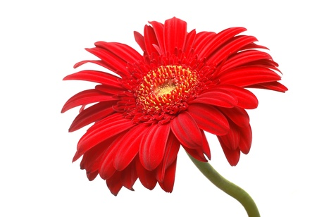gerbera: red gerbera  Stock Photo